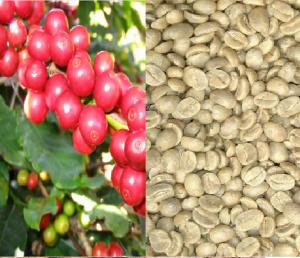 生罗布斯塔咖啡豆 S18